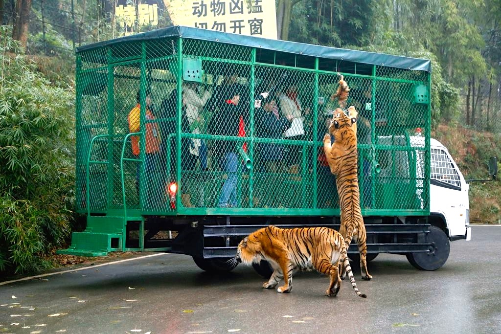 Photos Tigers Maul Chinese Sightseeing Bus Thatsmags Com