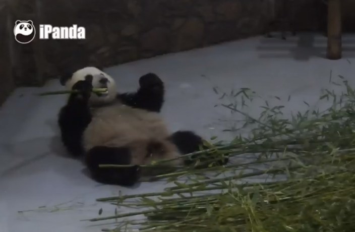 Watch Pandas in Real Time with These Live Pandacams