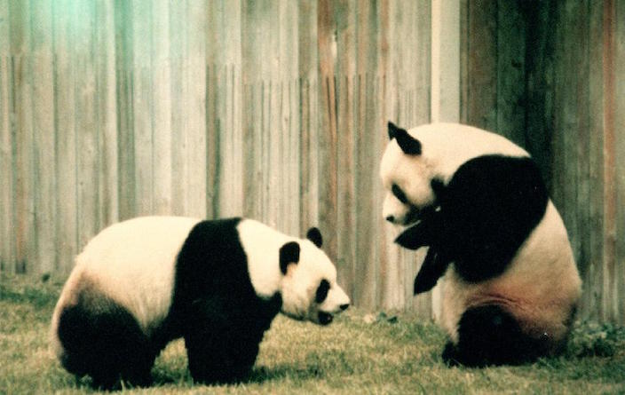 This Day in History: Pandas Debut in Washington DC