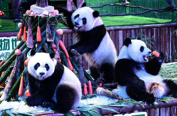 PHOTOS: China's Panda Triplets Celebrate 2nd Birthday
