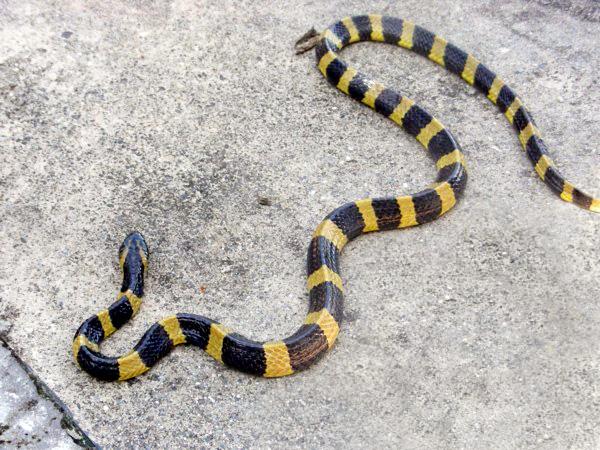 banded krait snake