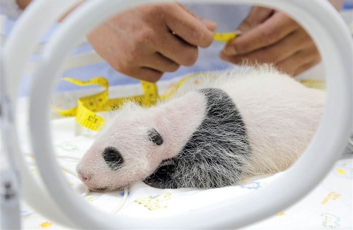 Shanghai Wildlife Park's First Giant Panda Birth