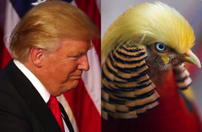 This Rare Chinese Bird Looks Exactly Like Donald Trump