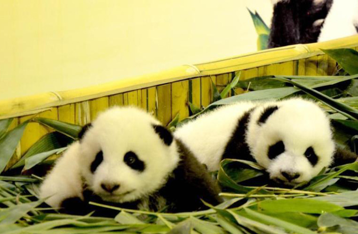 Guangzhou's Twin Panda Cubs in Healthy Condition