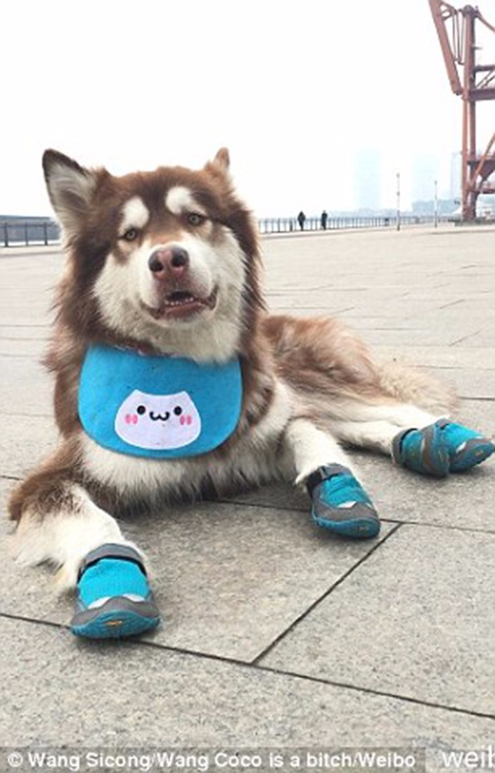 Wang Sicong's dog has fancy shoes