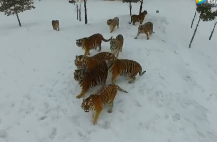 WATCH: Pack of Siberian Tigers Destroy Drone in China