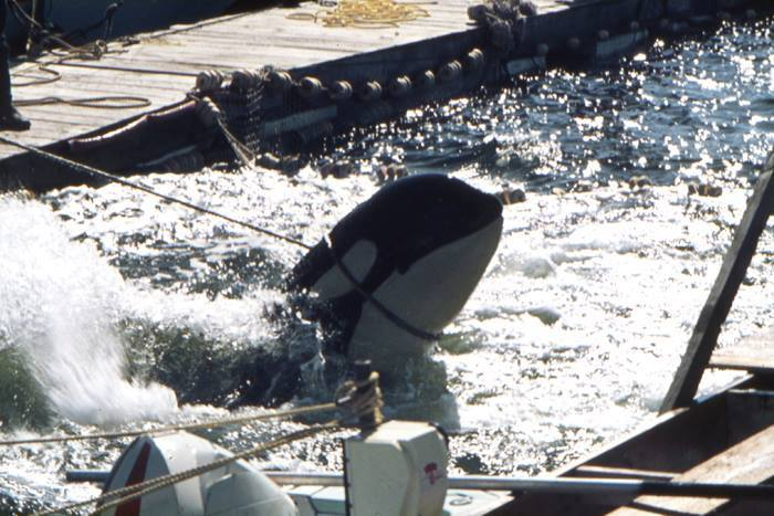 penn-cove-orca-capture.jpg