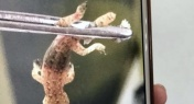 Tiny Gecko Gets Stuck in Man's Ear in Guangzhou