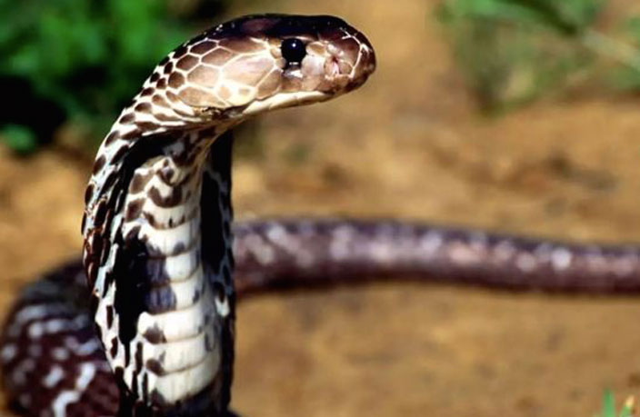 Woman Bitten by Severed Cobra Head in South China