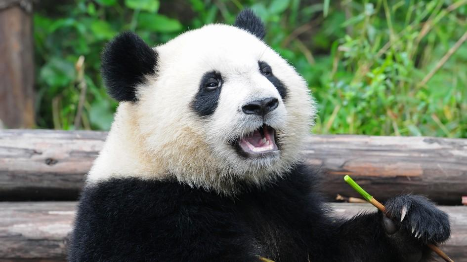 201710/giant-panda-eating_adapt_945_1.jpg