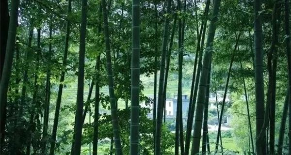 Bamboo Forest Chun'an county