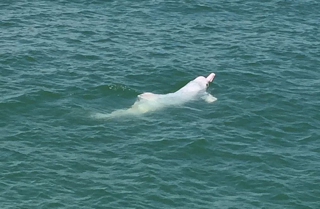 Authorities Act to Protect Endangered White Dolphin in South China