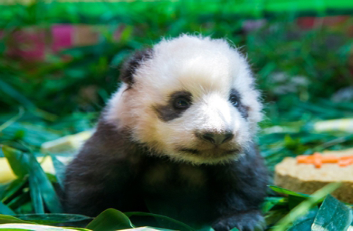 Meet Long Zai, Guangzhou's Newest Baby Panda