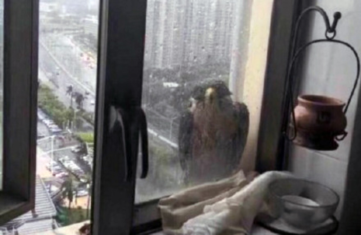 Falcon Rides Out Typhoon on High-Rise Window in South China
