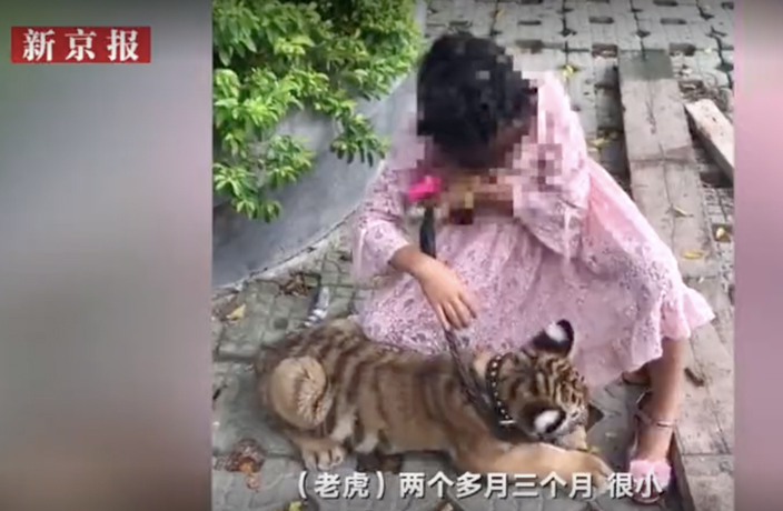 WATCH: Young Girl Walks Tiger Cub in South China