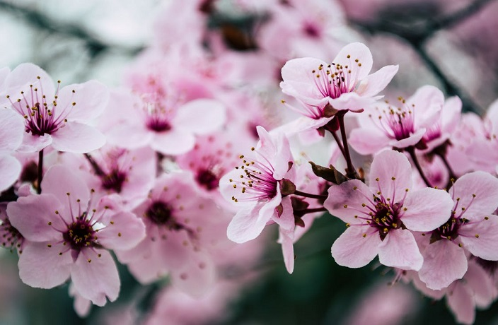 First Cherry Blossoms Spotted in Shanghai Despite Cold Weather