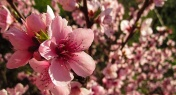 The Shanghai Peach Blossom Festival Will Kick Off on Saturday