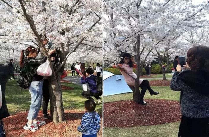 Badly Behaved Tourists Damage Shanghai's Cherry Blossom Trees