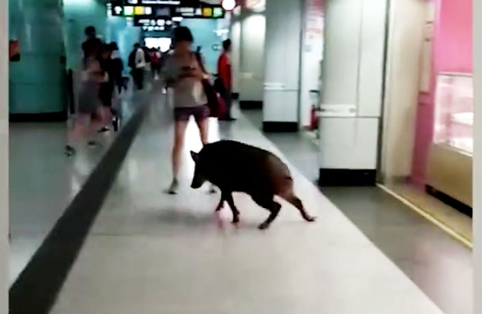 Wild Boar Disrupts Hong Kong Metro, Sends Woman to Hospital