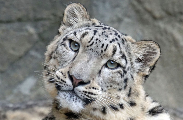 WATCH: Rare Snow Leopard Spotted in Northwest China