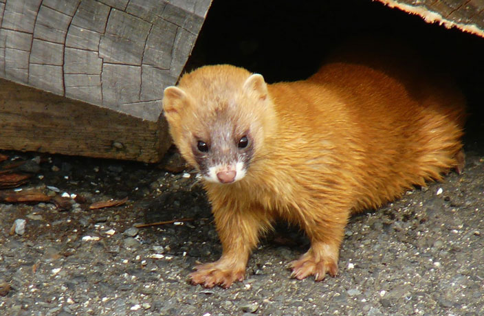The Siberian Weasel, China's Urban Rat Catcher