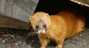 Meet the Siberian Weasel, China's Urban Rat Catcher