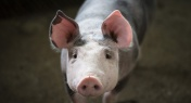 Chinese Scientists Make Breakthrough in Cure for African Swine Fever