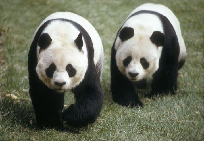 This Day in History: Pandas Debut in Washington DC Zoo