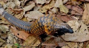 Renewed Pangolin Conservation Efforts in China After TCM Removal