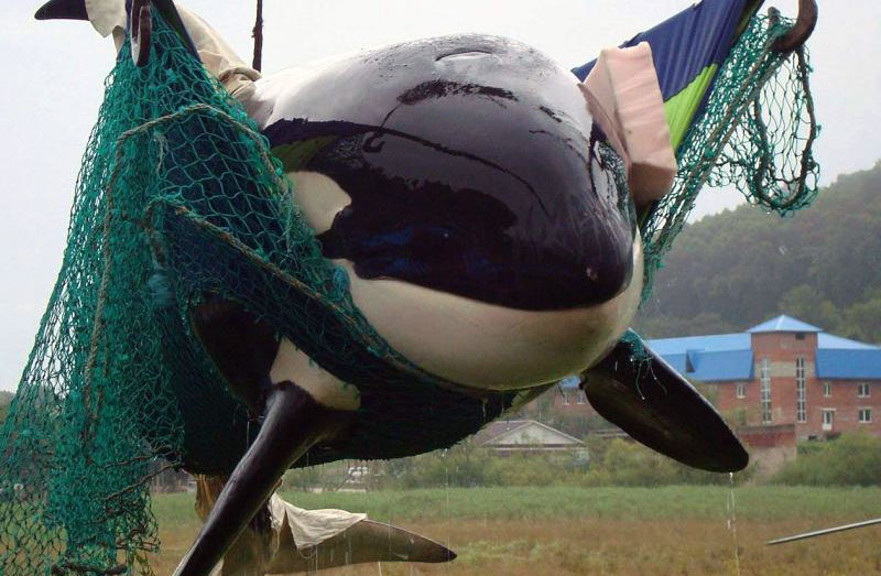 captured-killer-whale.jpg