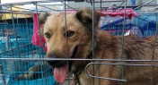 An Insider's Account on Activists' Yulin Dog Rescue