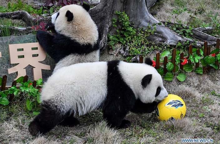PHOTOS: Pandas Celebrate World Cup with Football-Themed Party in Sichuan