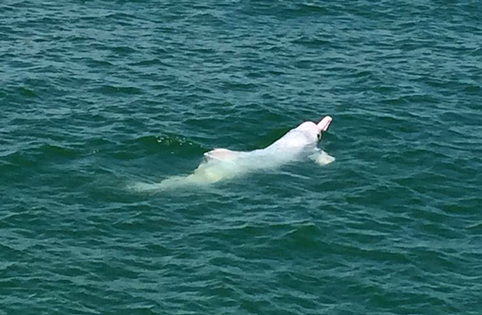 Only 47 Chinese White Dolphins Left in HK Waters, Scientists Suspect