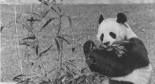 This Week in History: Pandas Debut in Washington DC