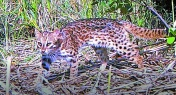 5 Rare Leopard Cats Spotted in Shenzhen