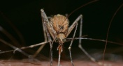 Explainer: How High Can a Mosquito Fly?