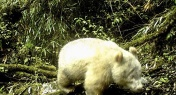 WATCH: Albino Panda Sighted in Southwest China for Very First Time
