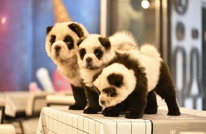 Dogs Dyed as Pandas Cause Outrage in Chengdu
