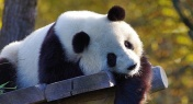 3 Giant Pandas to Be Reintroduced into Wild for the First Time