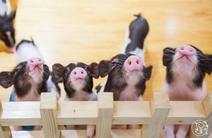 PHOTOS: New Pig Cafe Opens in Shenzhen
