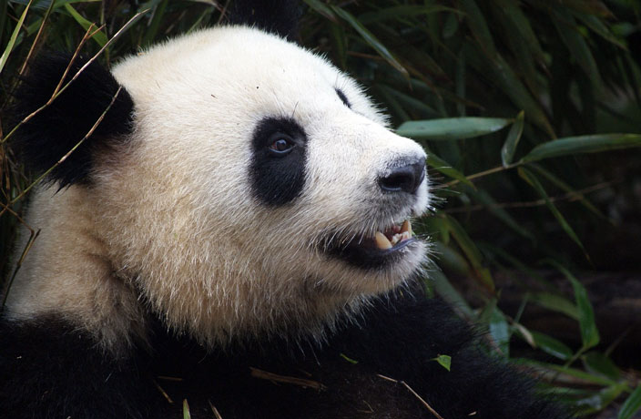 My Panda Tour Founder Talks Panda Diplomacy and Conservation