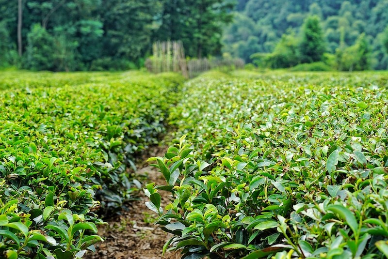 Tea-Fields.jpg