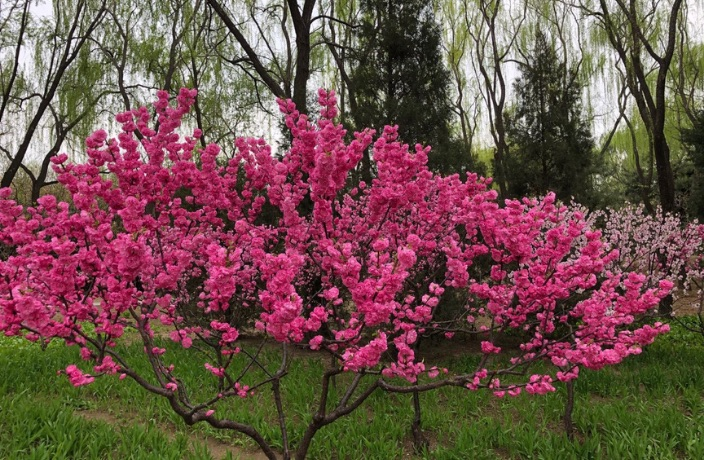 6 Spots to See Spring Flowers in Beijing… For Free