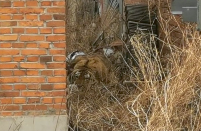 WATCH: Wild Tiger On the Loose in Northeast China Attacks Villager