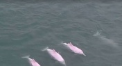WATCH: Rare Sighting of 5 Pink Dolphins in South China